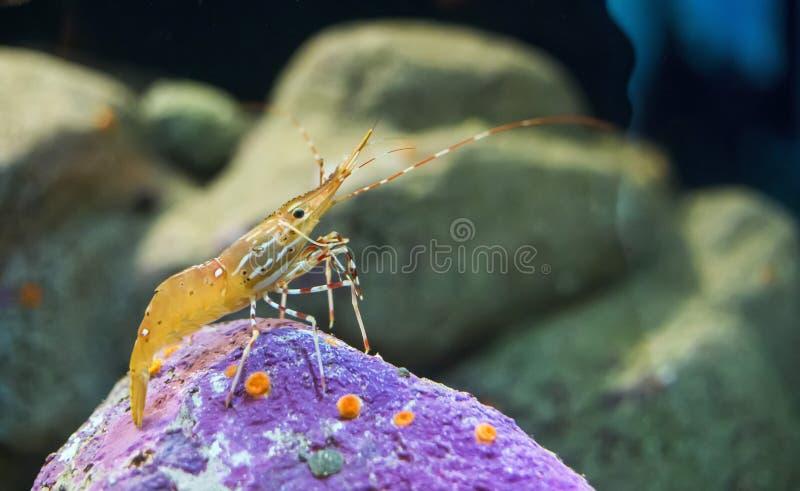 Γαρίδες σημείων ενυδρείων (platyceros Pandalus) στοκ φωτογραφία με δικαίωμα ελεύθερης χρήσης