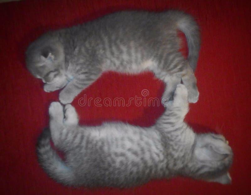 Γατάκια, γάτα, γάτες, κατοικίδια ζώα, σκωτσέζικες ευθείες, σκωτσέζικες πτυχές στοκ εικόνες
