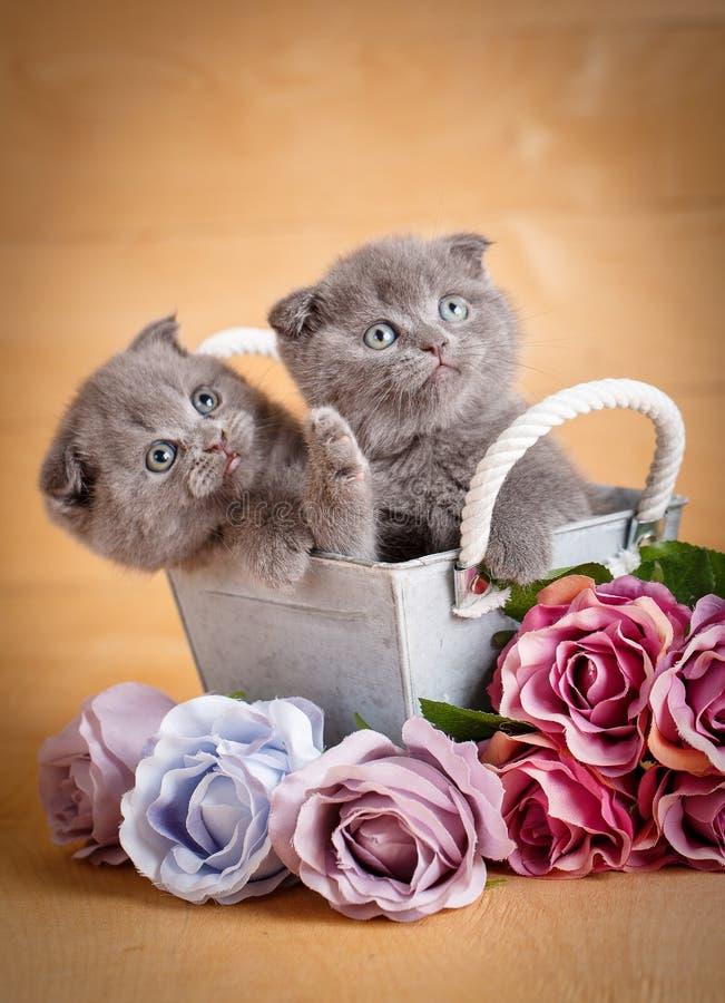 Γατάκια, σκωτσέζικη γάτα Μερικές γάτες κοντά στα λουλούδια στοκ φωτογραφία με δικαίωμα ελεύθερης χρήσης