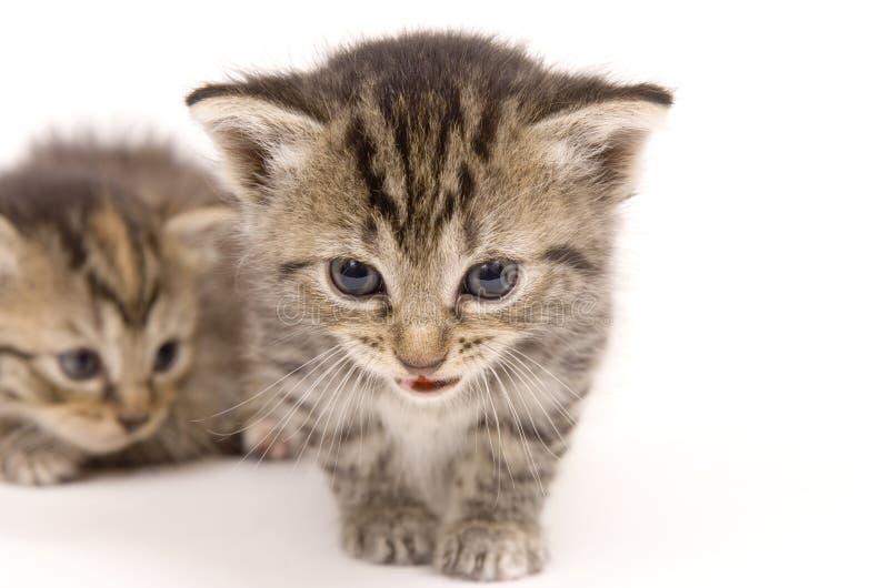 Γατάκια στην άσπρη ανασκόπηση (γατάκι ανασκόπησης μαλακό) Δωρεάν Στοκ Φωτογραφία
