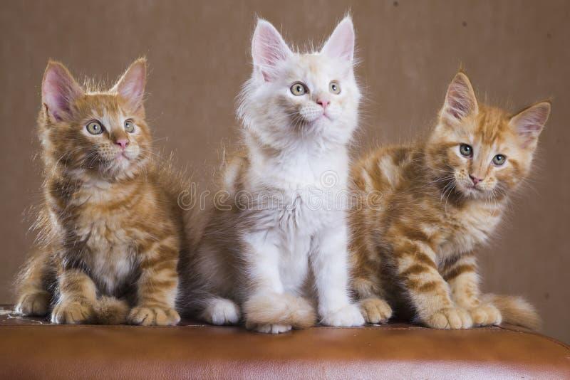 Γατάκια του Μαίην Coon στοκ εικόνες με δικαίωμα ελεύθερης χρήσης