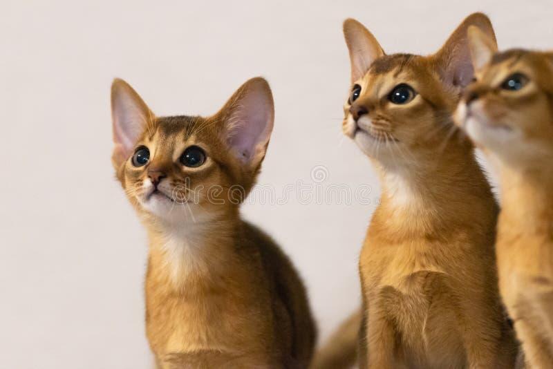 Γατάκια Abyssinian Αρχαία φυλή γατών στοκ εικόνες
