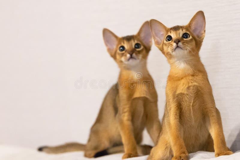 Γατάκια Abyssinian Αρχαία φυλή γατών στοκ εικόνα με δικαίωμα ελεύθερης χρήσης
