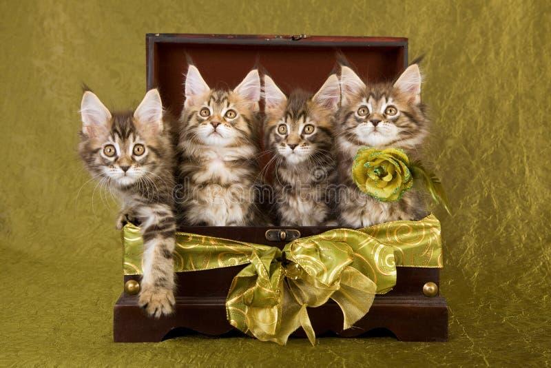 γατάκια Maine κιβωτίων coon ξύλινο στοκ εικόνες με δικαίωμα ελεύθερης χρήσης