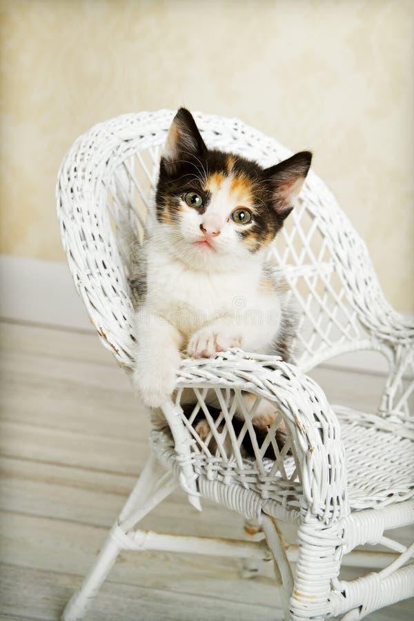 γατάκι εδρών βαμβακερού &upsilo στοκ εικόνα με δικαίωμα ελεύθερης χρήσης