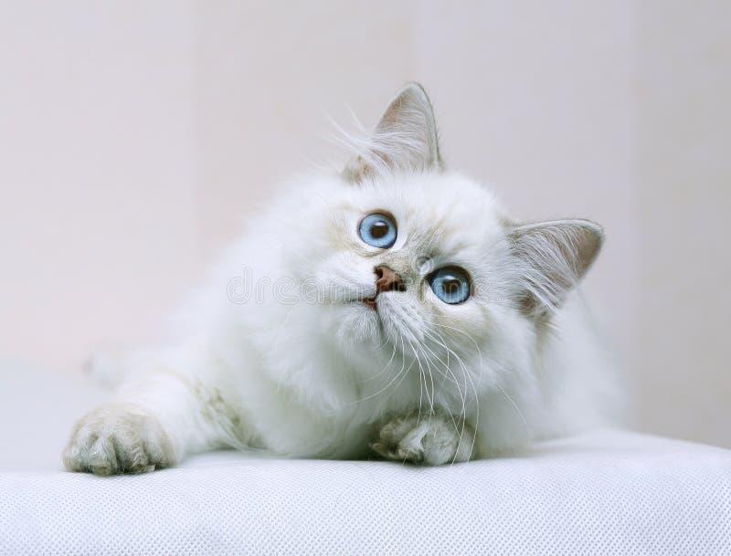 γατάκι μπλε ματιών στοκ φωτογραφίες με δικαίωμα ελεύθερης χρήσης