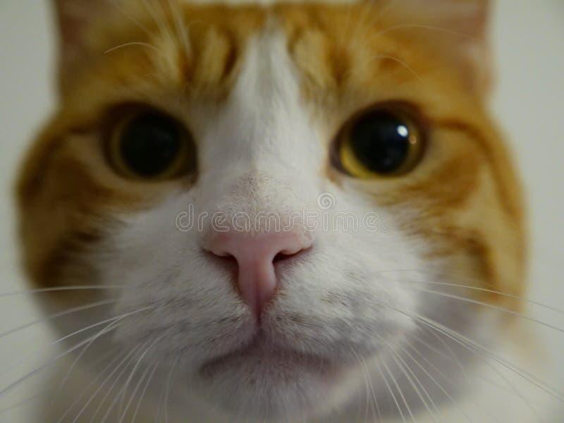 Γατάκι πιπεροριζών στοκ εικόνα