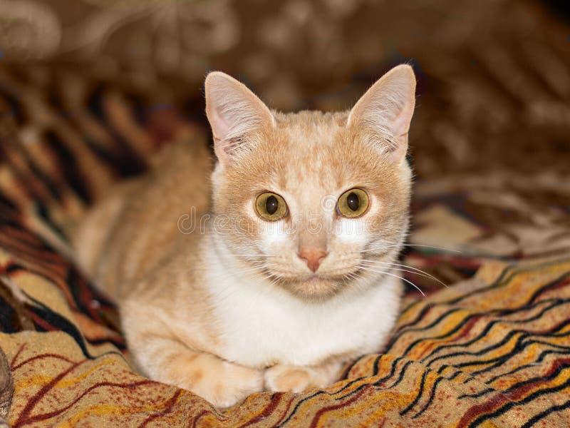 Γατάκι που βρίσκεται στον καναπέ Χρυσή κινηματογράφηση σε πρώτο πλάνο γατών στοκ εικόνα