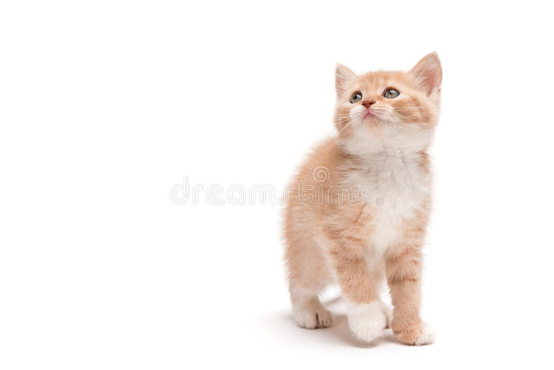 Γατάκι που περπατά στο στούντιο που ανατρέχει στοκ εικόνες