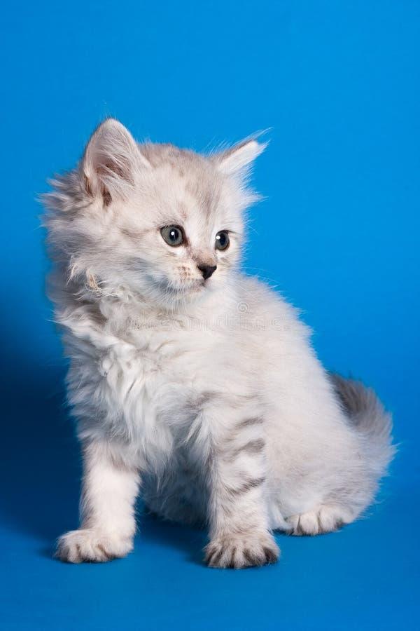 γατάκι Σιβηριανός στοκ εικόνες με δικαίωμα ελεύθερης χρήσης