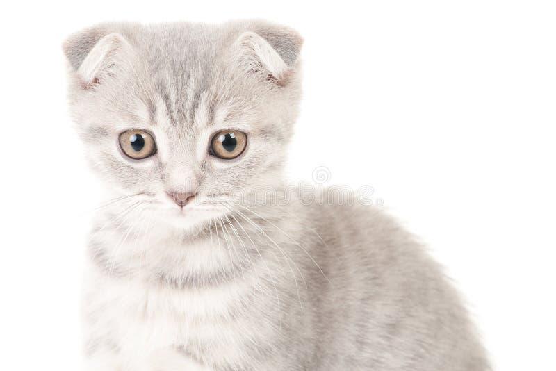 γατάκι σκωτσέζικα πτυχών στοκ φωτογραφία
