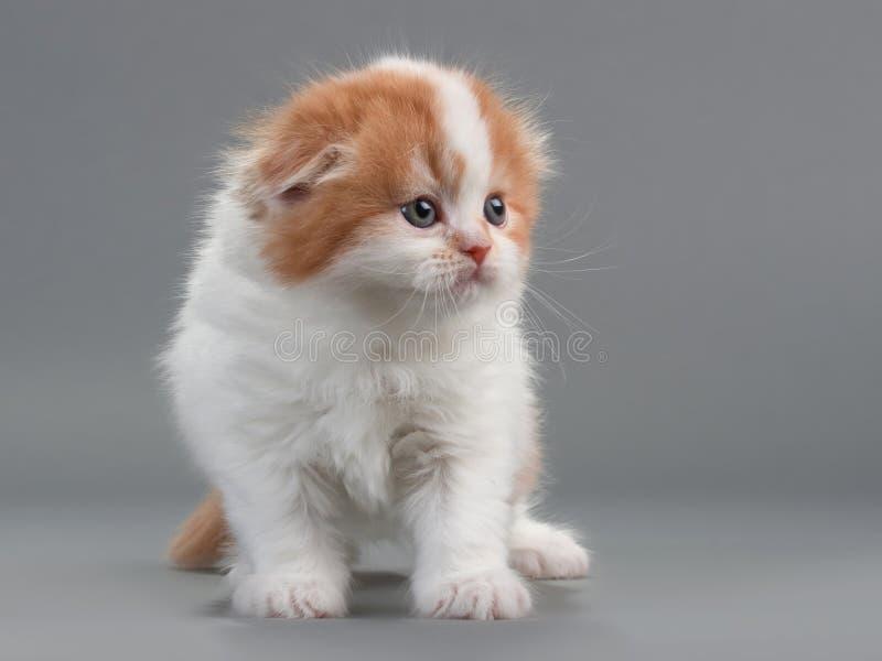 γατάκι σκωτσέζικα πτυχών &delta στοκ φωτογραφία