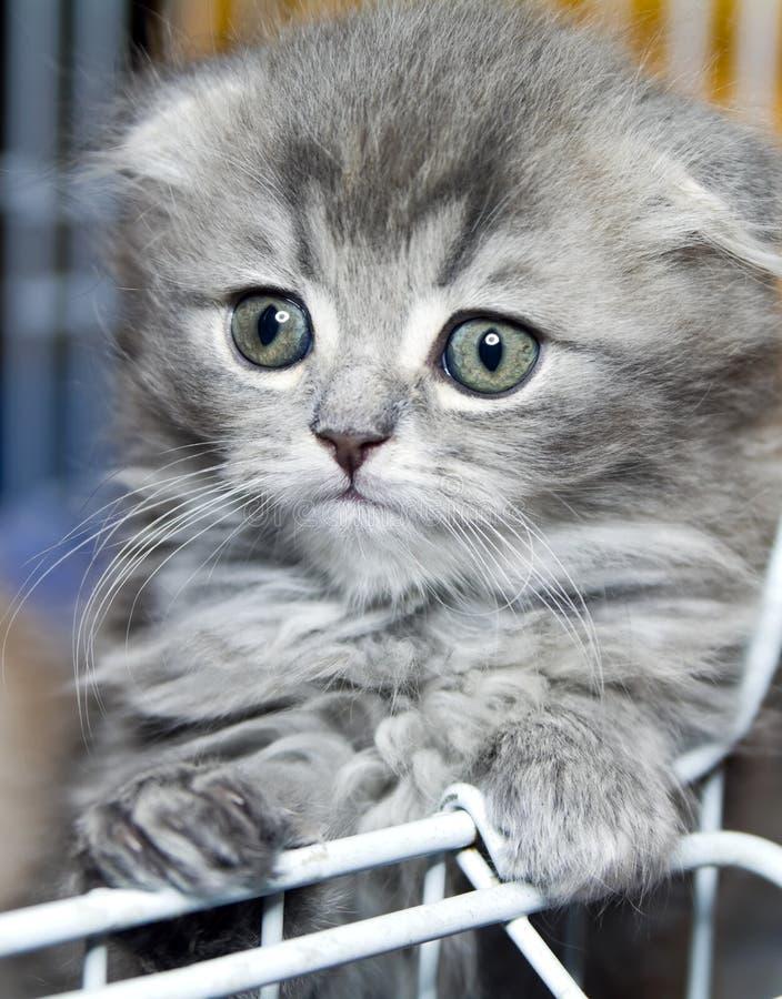 γατάκι σκωτσέζικα στοκ εικόνες