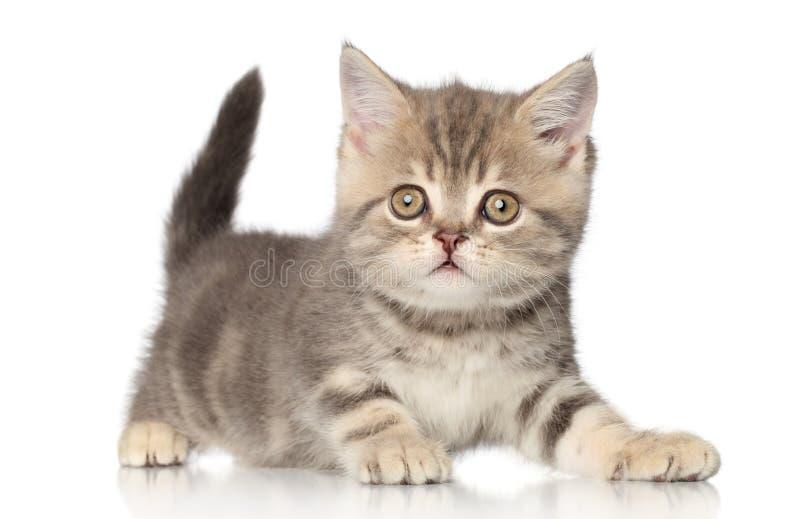 γατάκι σκωτσέζικα στοκ φωτογραφίες