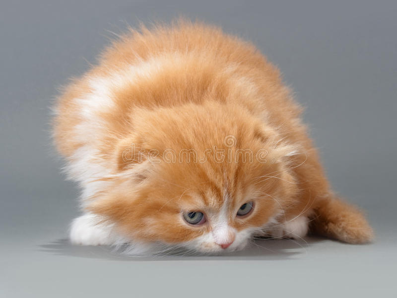 γατάκι τα αρσενικά σκωτσέζικα πτυχών διασταύρωσης στοκ εικόνες με δικαίωμα ελεύθερης χρήσης