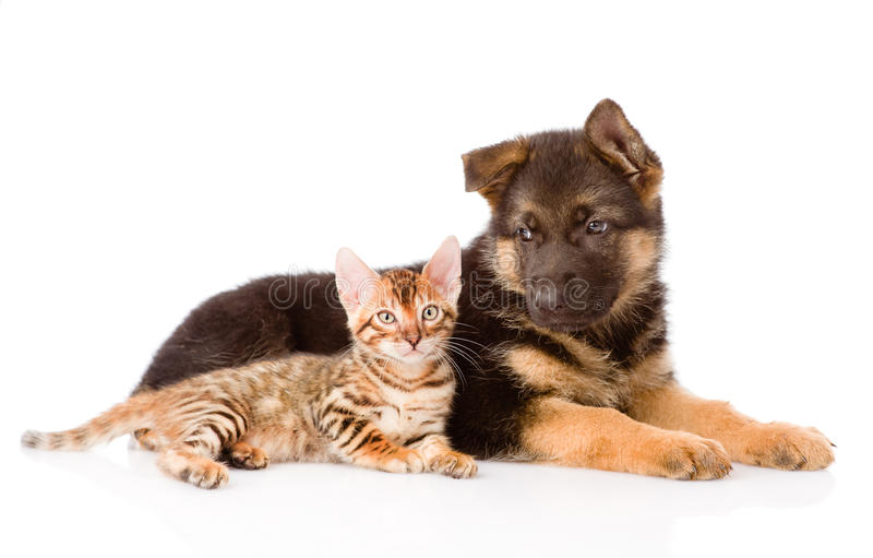 Γατάκι της Βεγγάλης που εναπόκειται στο γερμανικό σκυλί κουταβιών ποιμένων απομονωμένος στοκ εικόνα με δικαίωμα ελεύθερης χρήσης