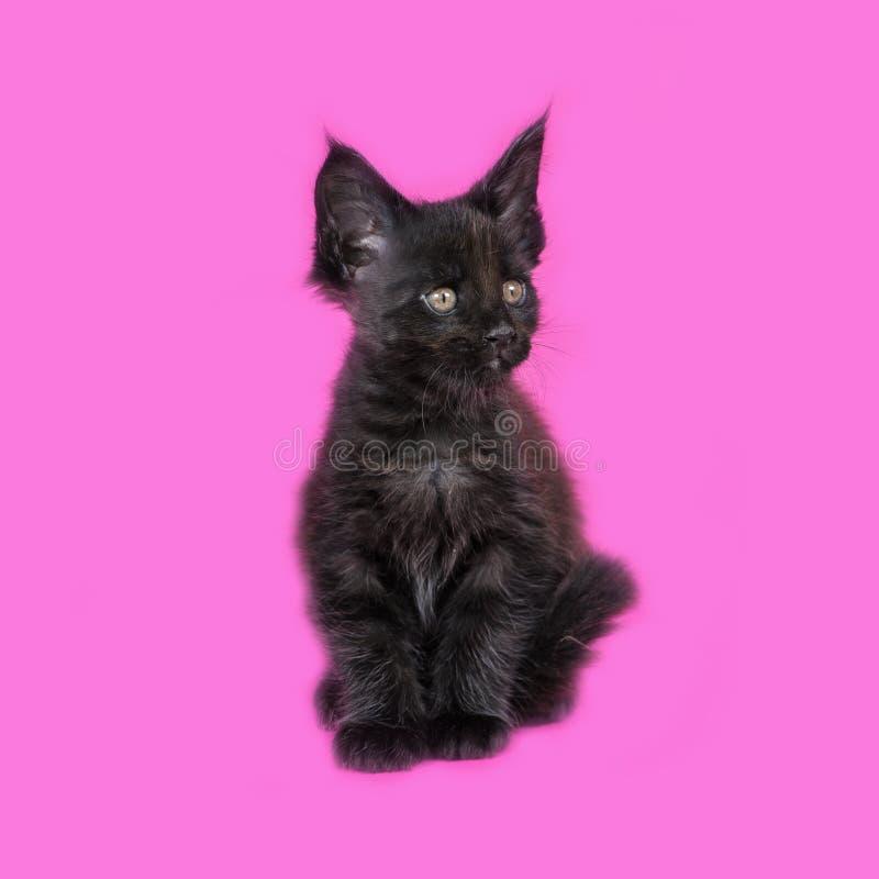Γατάκι του Μαίην Coon στο στούντιο στοκ εικόνες με δικαίωμα ελεύθερης χρήσης