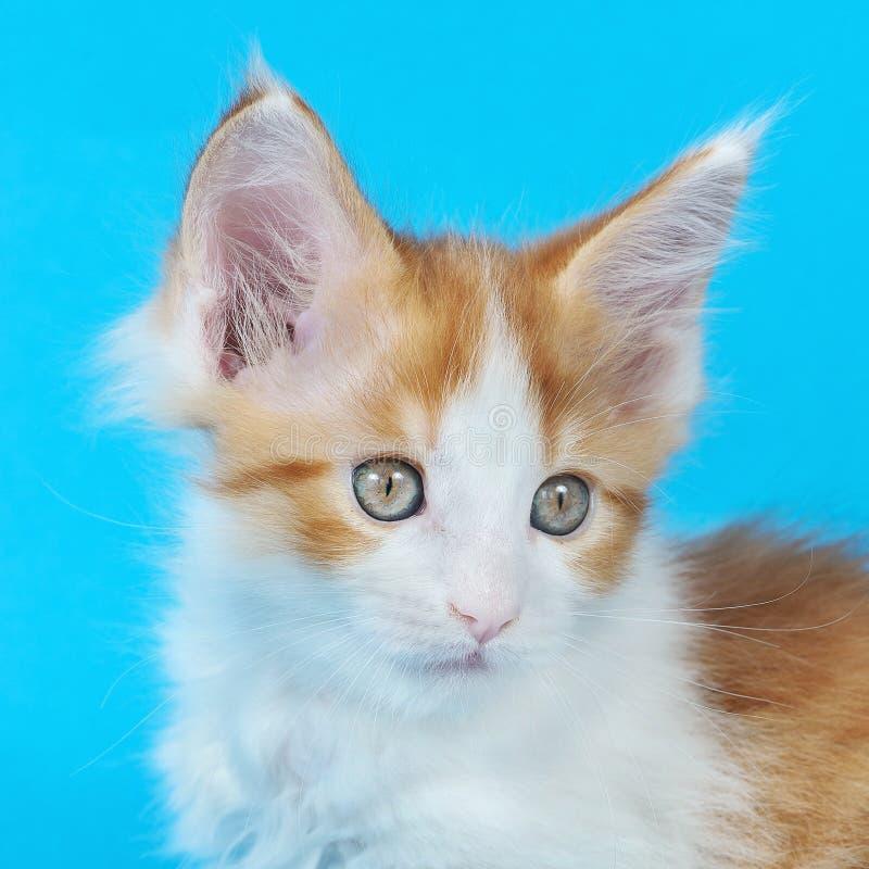 Γατάκι του Μαίην Coon στο στούντιο στοκ φωτογραφία με δικαίωμα ελεύθερης χρήσης