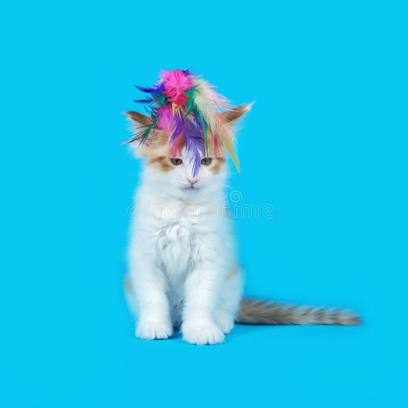 Γατάκι του Μαίην Coon στο στούντιο στοκ εικόνα