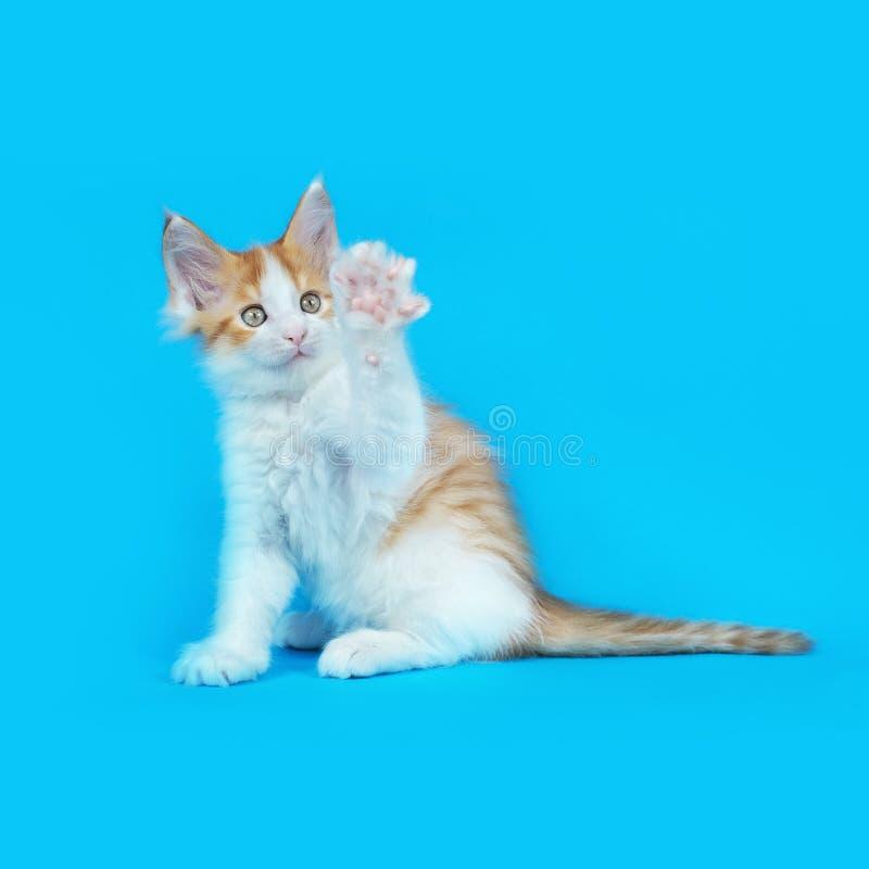 Γατάκι του Μαίην Coon στο στούντιο στοκ φωτογραφίες με δικαίωμα ελεύθερης χρήσης