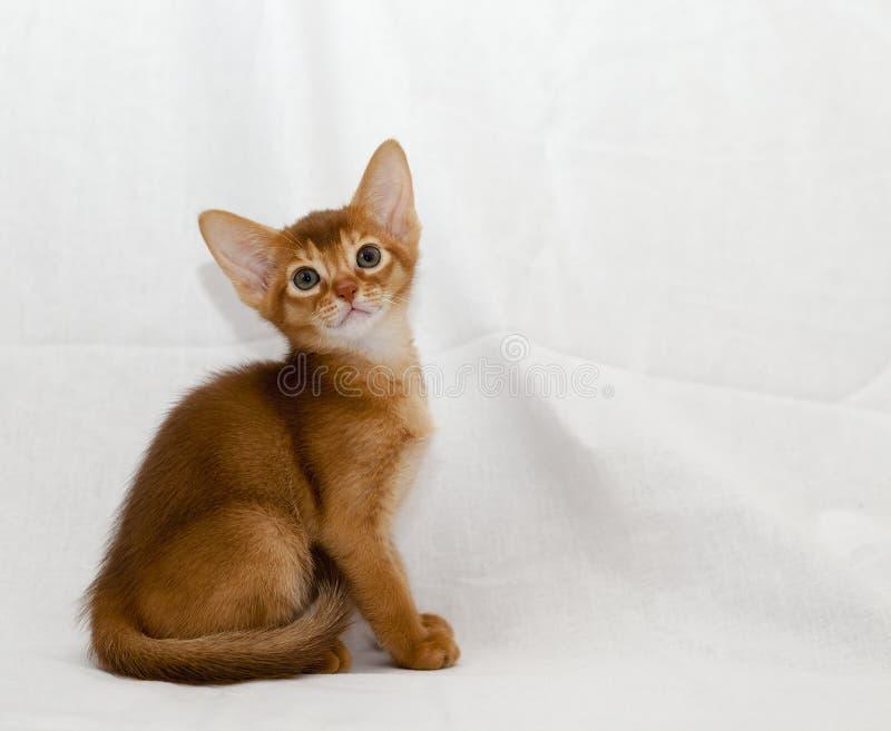 γατάκι Abyssinian στοκ φωτογραφίες