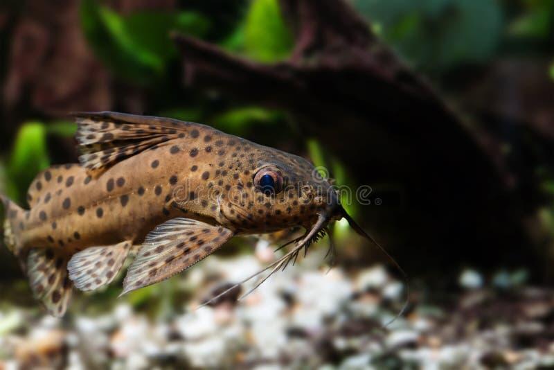 Γατόψαρο τρία ζευγάρι της μακρο άποψης βάρβων Τα nigriventris Synodontis ανάποδα τα αφρικανικά αρπακτικά ψάρια, καφετί δέρμα στοκ φωτογραφία με δικαίωμα ελεύθερης χρήσης