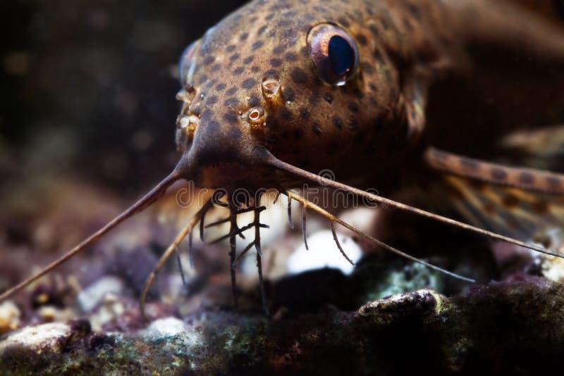 Γατόψαρο τρία ζευγάρι της μακρο άποψης βάρβων Τα nigriventris Synodontis ανάποδα τα αφρικανικά αρπακτικά ψάρια, καφετί δέρμα στοκ φωτογραφίες