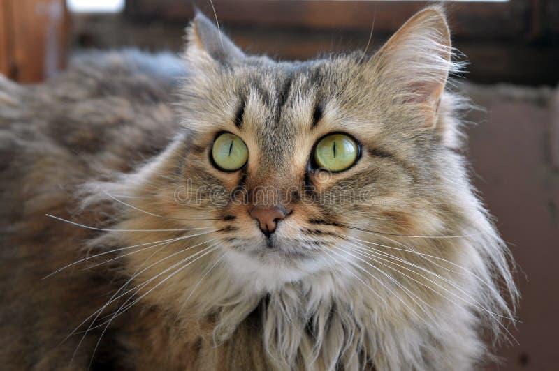 Γατών τα ζωικά αιλουροειδή εσωτερικά σιβηρικά πράσινα μάτια κτηνών σπιτιών γούνινα αναπαράγουν την προσοχή ονειροπόλησης άνεσης στοκ εικόνες