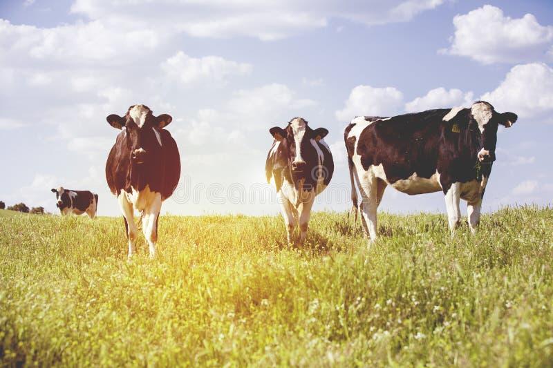 Γαλακτοκομικές αγελάδες στην επαρχία, με τον όμορφο ουρανό στο υπόβαθρο στοκ εικόνες