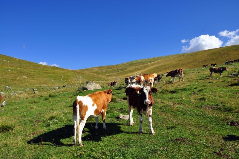 Γαλακτοκομικές αγελάδες στοκ εικόνα