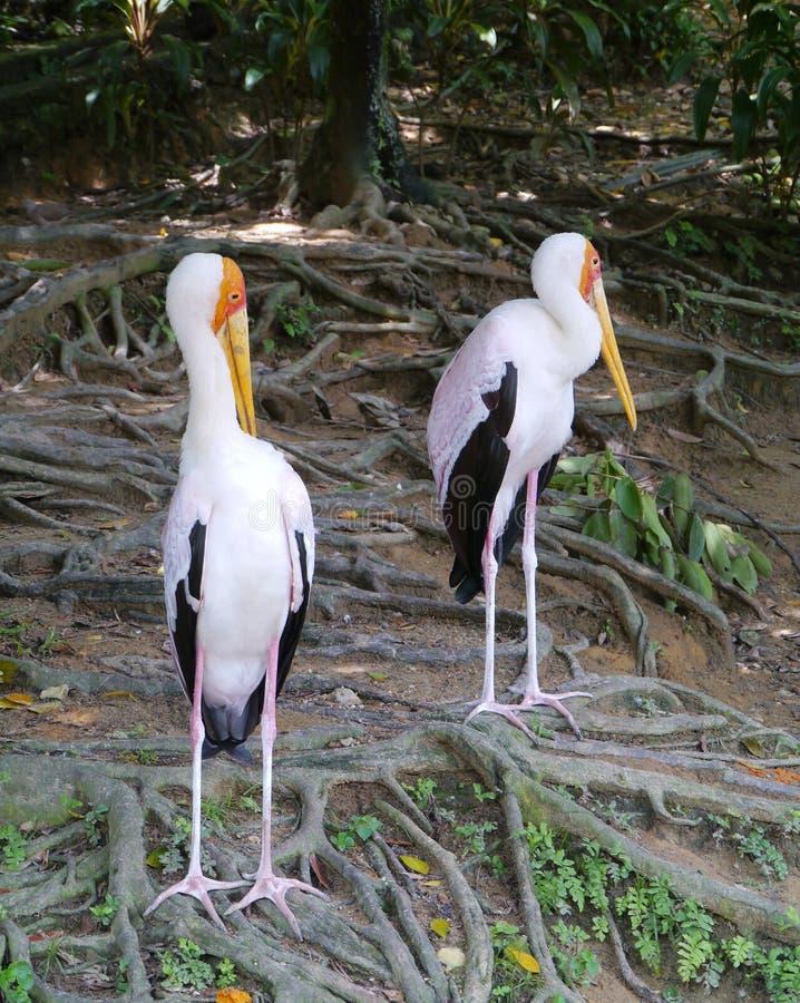 Γαλακτώδεις πελαργοί σε ένα πάρκο πουλιών στοκ εικόνες