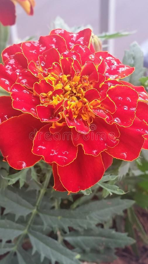 γαλλικό marigold στοκ εικόνα με δικαίωμα ελεύθερης χρήσης