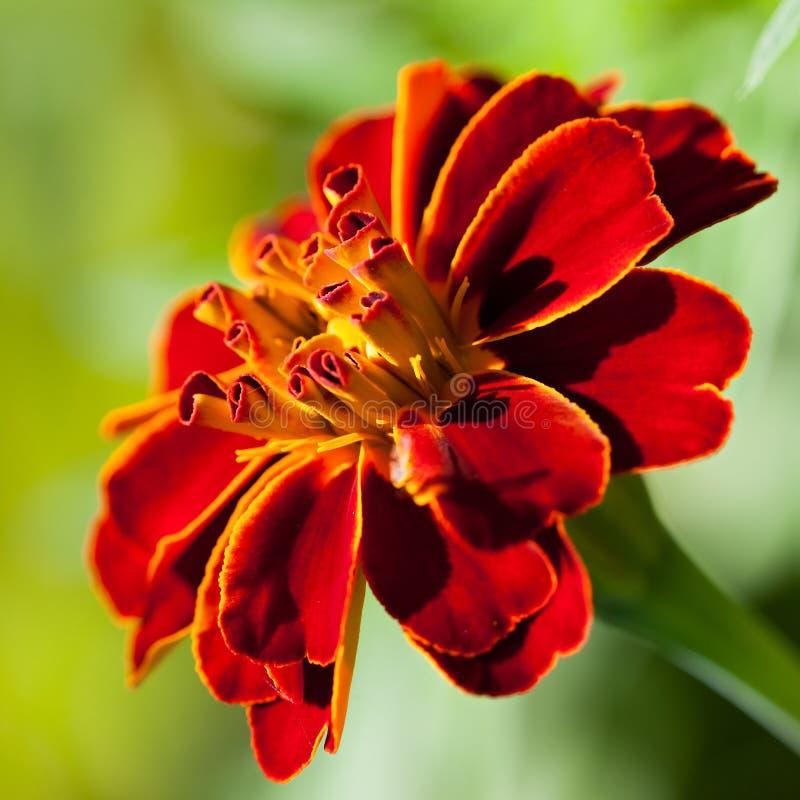 Γαλλικό marigold (patula Tagetes) στοκ φωτογραφία με δικαίωμα ελεύθερης χρήσης