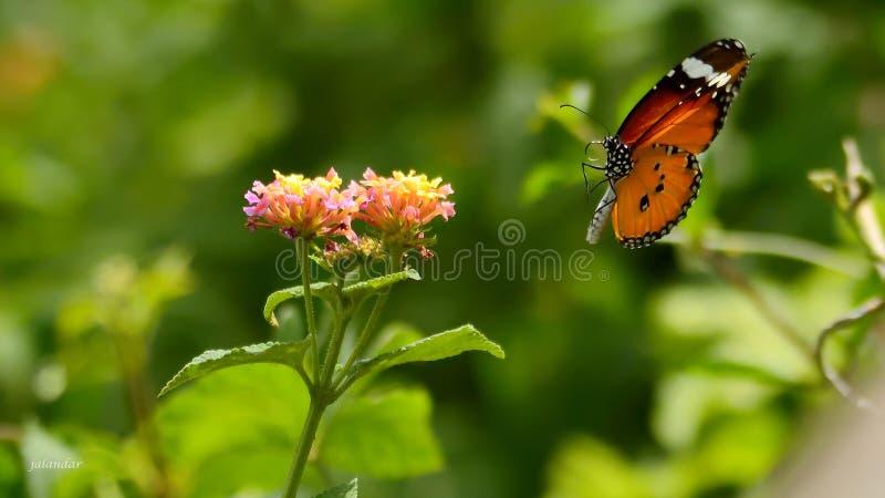 Γδυμένη πεταλούδα τιγρών που προσγειώνεται σε ένα λουλούδι στοκ φωτογραφία με δικαίωμα ελεύθερης χρήσης