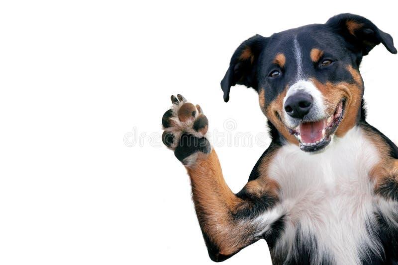 Γειά σου αντίο υψηλό πέντε σκυλί, σκυλί βουνών Appenzeller στοκ εικόνα