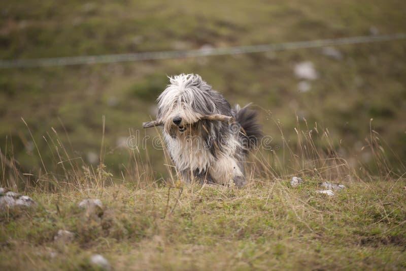Γενειοφόρο κόλλεϊ σκυλιών με το ξύλινο ραβδί στο στόμα του στοκ εικόνα