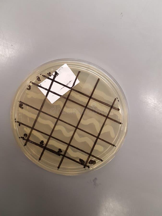 Γενετική πιάτων βακτηριδίων στοκ φωτογραφίες με δικαίωμα ελεύθερης χρήσης