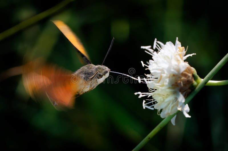 Γεράκι-σκώρος κολιβρίων - να ταΐσει stellatarum Macroglossum με το λουλούδι στην Ισπανία, Ευρώπη στοκ εικόνα