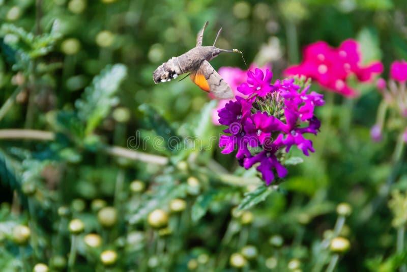 Γεράκι-σκώρος κολιβρίων στοκ φωτογραφία με δικαίωμα ελεύθερης χρήσης