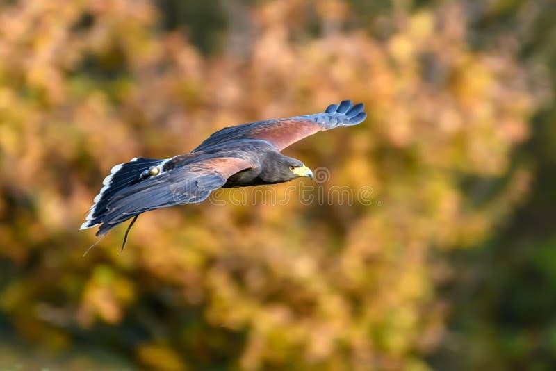 γεράκι harris πτήσης στοκ εικόνες