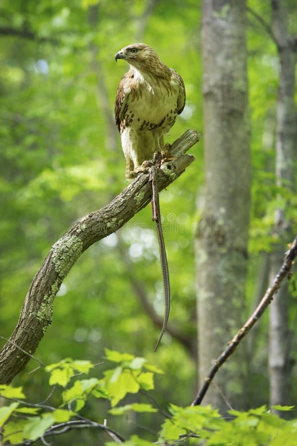 Γεράκι Redtail σε ένα δέντρο, που ταΐζει με ένα garter φίδι στοκ εικόνα με δικαίωμα ελεύθερης χρήσης