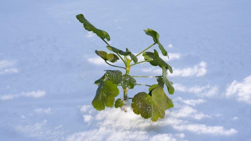 Γεράνι στο χιόνι στοκ εικόνες