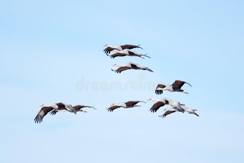 Γερανοί Sandhill κατά την πτήση με το υπόβαθρο μπλε ουρανού στοκ φωτογραφία με δικαίωμα ελεύθερης χρήσης