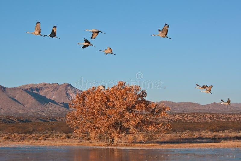 Γερανοί Sandhill που πετούν πέρα από μια λίμνη σε ένα κρύο πρωί φθινοπώρου στοκ φωτογραφία με δικαίωμα ελεύθερης χρήσης
