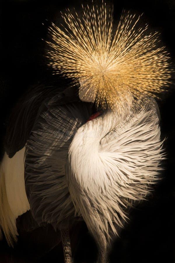 γερανός που στέφεται μαύρ&o στοκ φωτογραφία