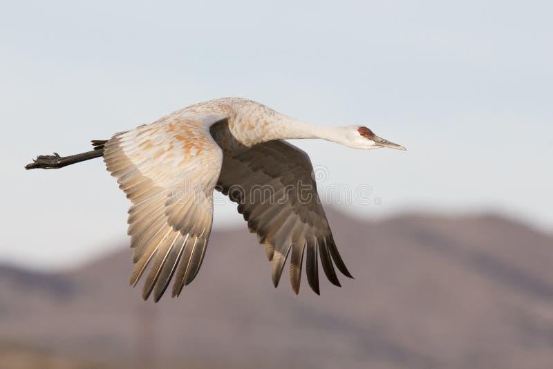Γερανός Sandhill που πετά κοντά στα βουνά στοκ εικόνες