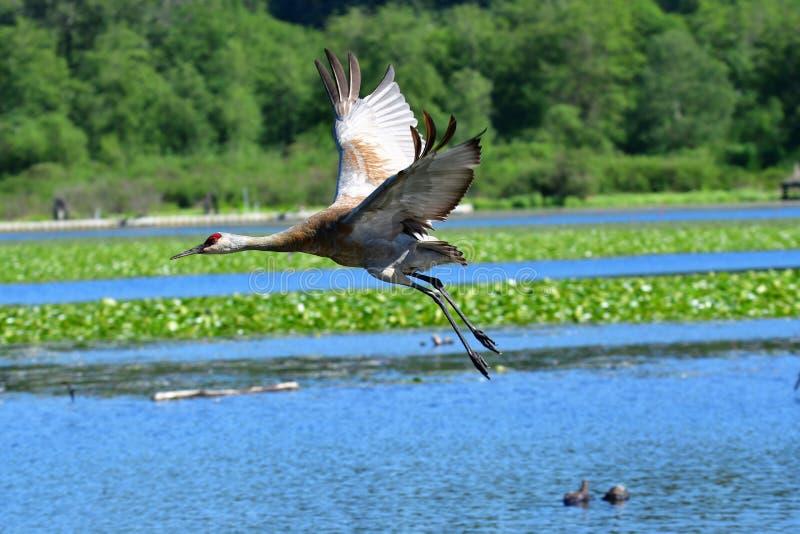Γερανός Sandhill που πετά στον αέρα στοκ φωτογραφία με δικαίωμα ελεύθερης χρήσης