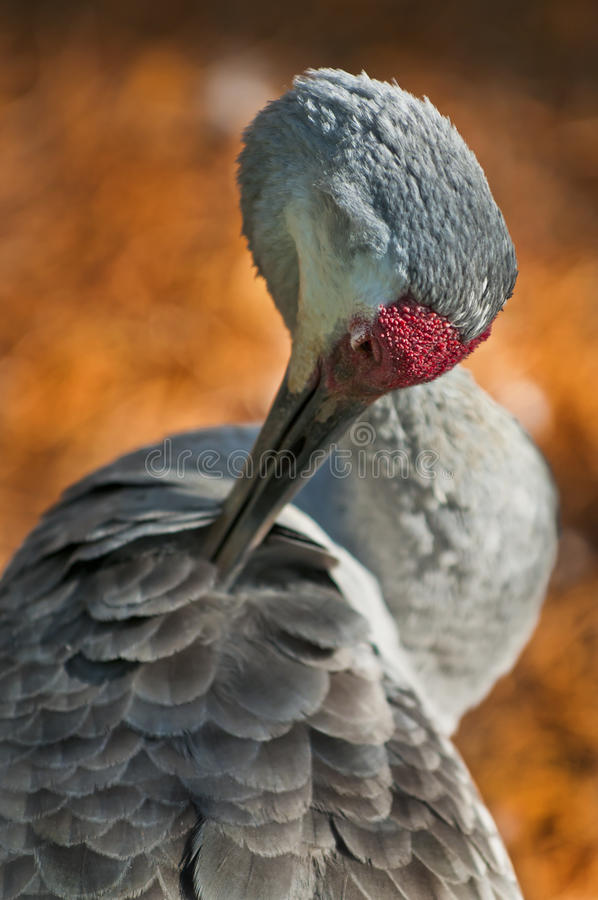 Download γερανός sandhill στοκ εικόνα. εικόνα από γερανός, διαμερισμάτων - 22778075