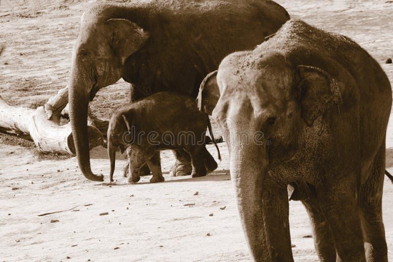 Γερμανία, Köln, ασιατικό Elefants στο ζωολογικό κήπο στοκ φωτογραφίες με δικαίωμα ελεύθερης χρήσης