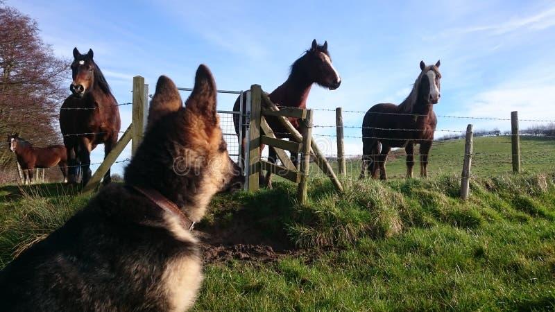 Γερμανικά κουτάβι και άλογα ποιμένων στοκ φωτογραφία